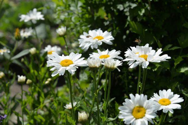 daisies-1534023_960_720-600x400